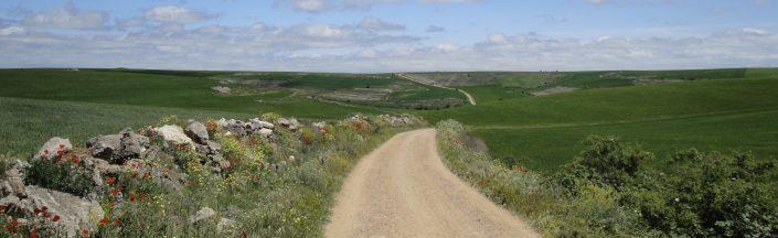 Camino de Santiago florido en el páramo entre Rabé de las calzadas y Hornillos del Camino
